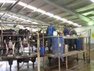 scanning during milking